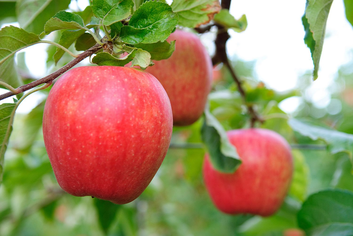 Pin by Stemilt Growers on Summer Recipes | Apple harvest
