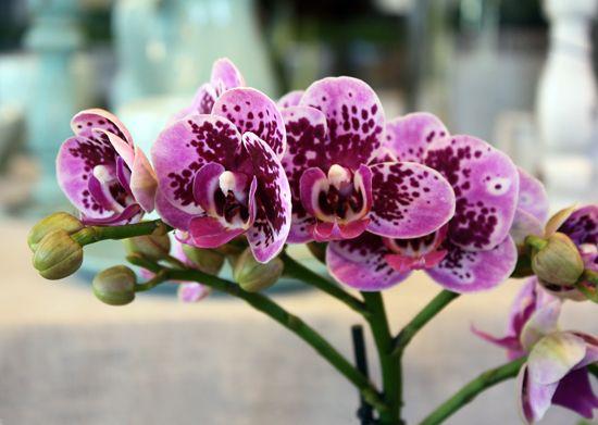 Phalaenopsis. http://holmsundsblommor.blogspot.se/2013/07/knubbig-orkide.html