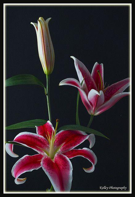 My favorite flower...  Stargazer Lily.