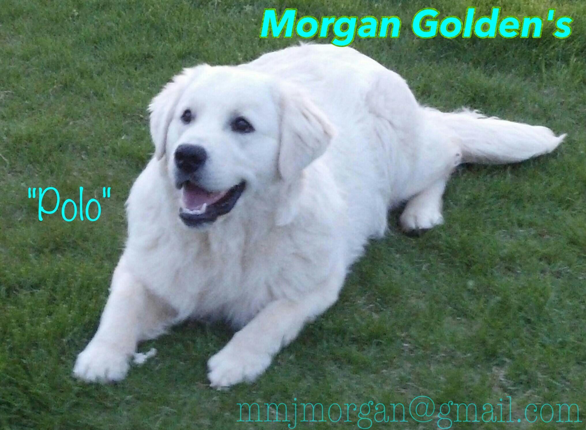 English Cream Golden Retriever White Golden Retrievers