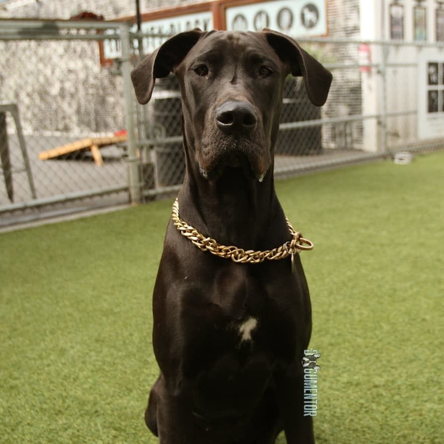 Athena Great Dane 7 M O Quartyard Great Dane Labrador