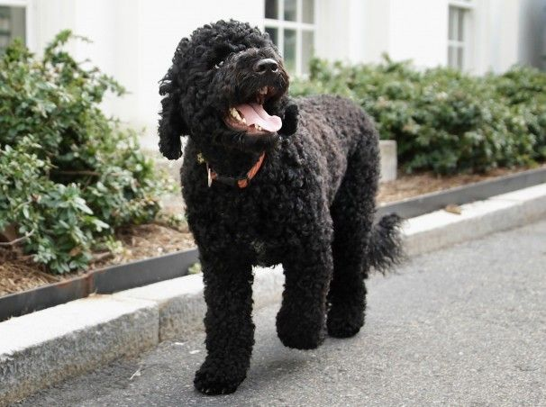 Presidential Dog Sunny Walks Outside The White House Portuguese