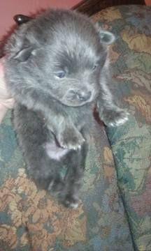 Litter Of 5 Pomeranian Puppies For Sale In Lafayette In Adn