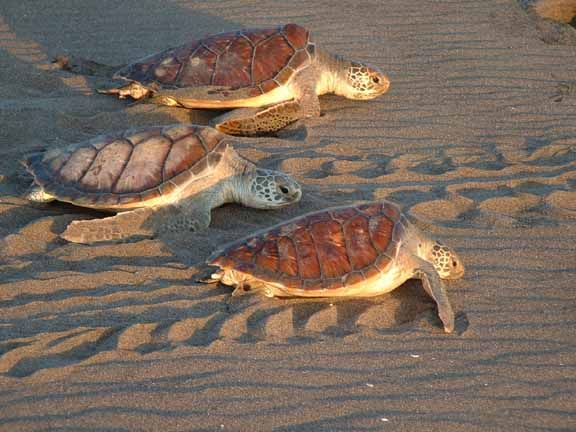 help save the baby sea turtles in costa rica...volunteer vacation perhaps??