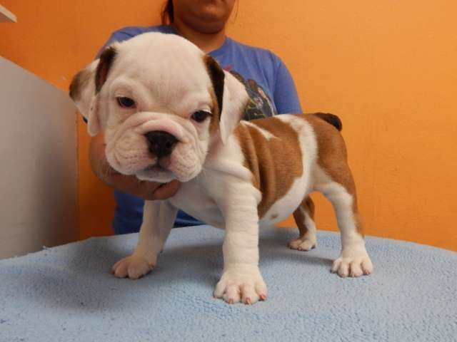 Beautiful English Bulldog Puppy Female Full Akc Registered Lots