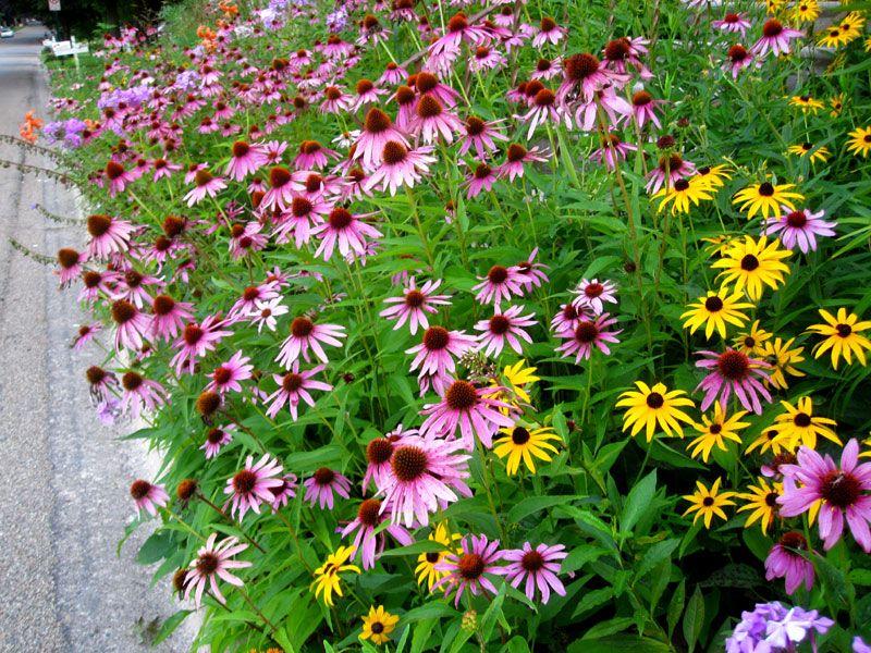 Purple Coneflower Echinacea Purpurea Blazing Star Gardens Echinacea Purpurea Echinacea Purple Flowers