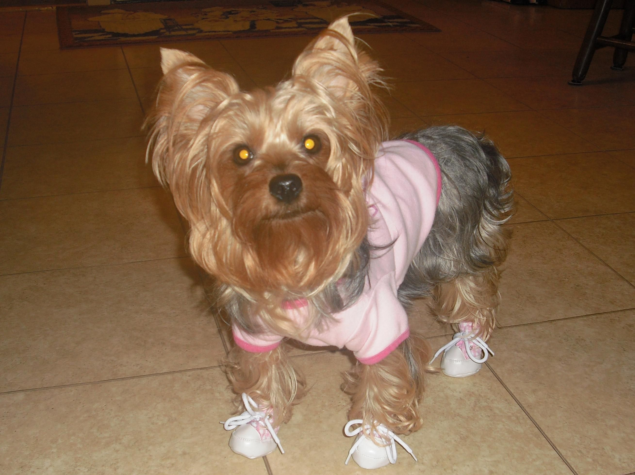 Yorkie With Shoes Animals Awww My Favs Pinterest Yorkie