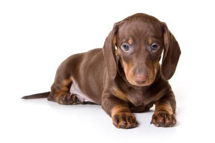 120+ Brown Female Dog Names for Gold, Red, and Chocolate