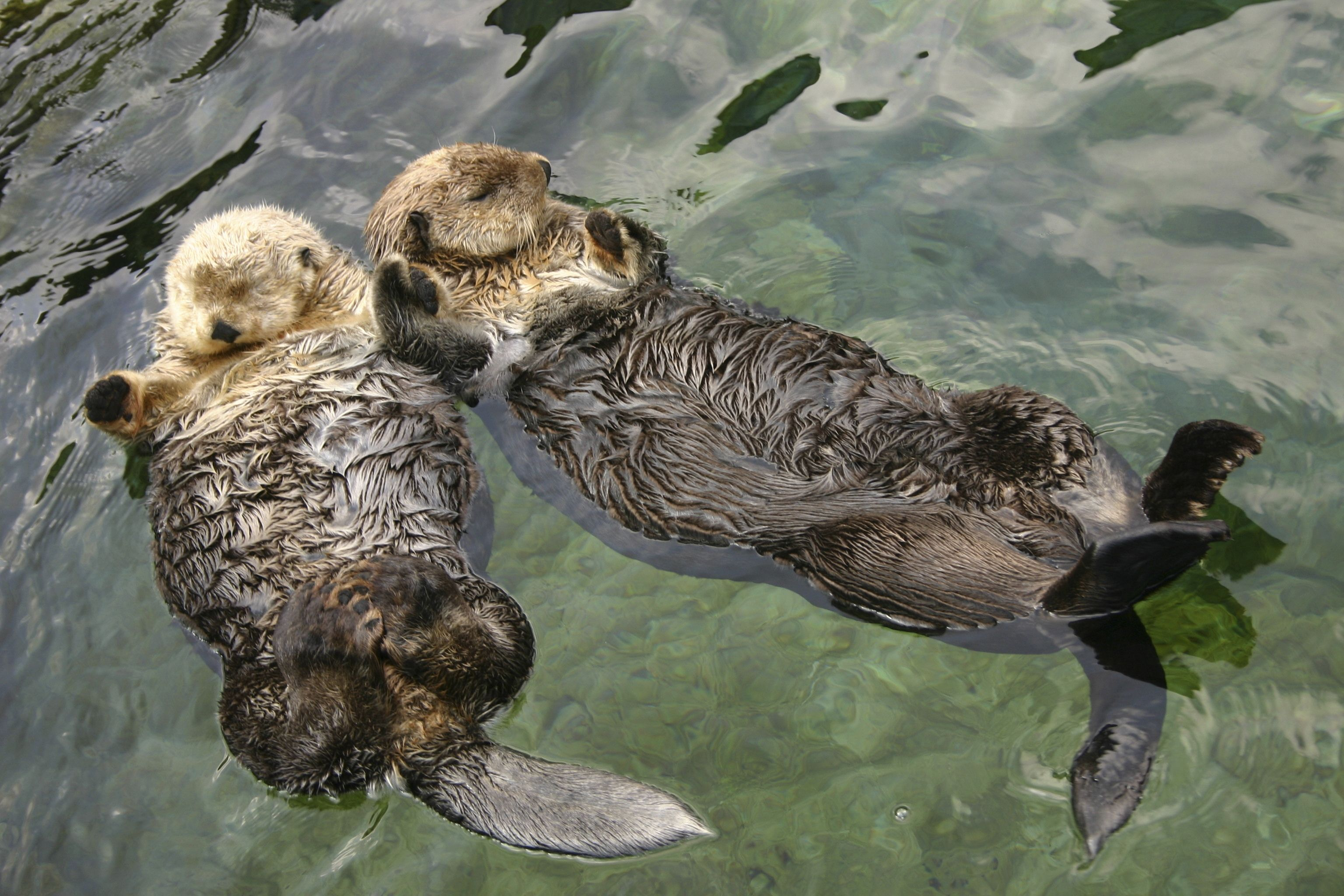 Sea Otters Hold Hands While They Sleep So That They Won T Float