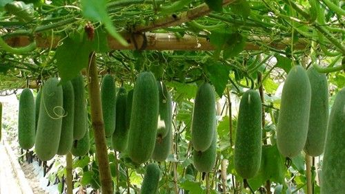Image result for luffa on trellis