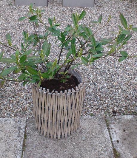 My garden in Sweden 20 - Prunus laurocerasus Mano