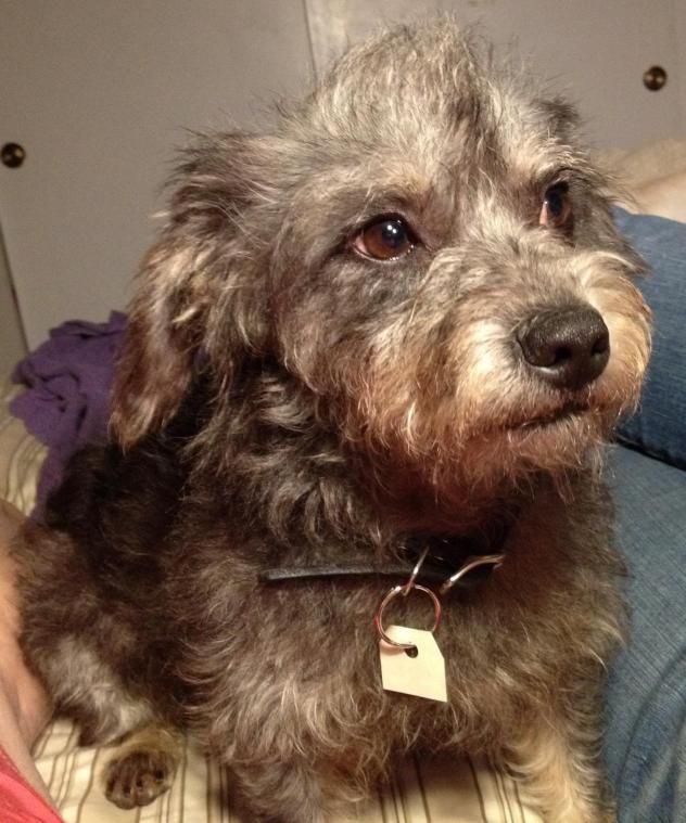 Adopt Higgins On Schnauzer Mix Poodle Mix Dogs Small Pets