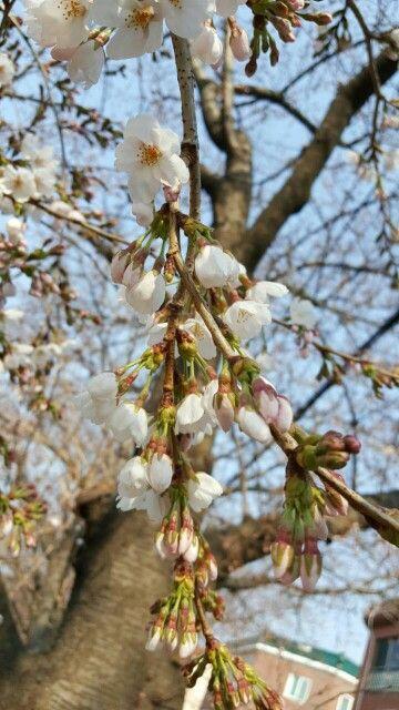 벚꽃의 봄소식 messenger of spring, cherry blossom, Korea