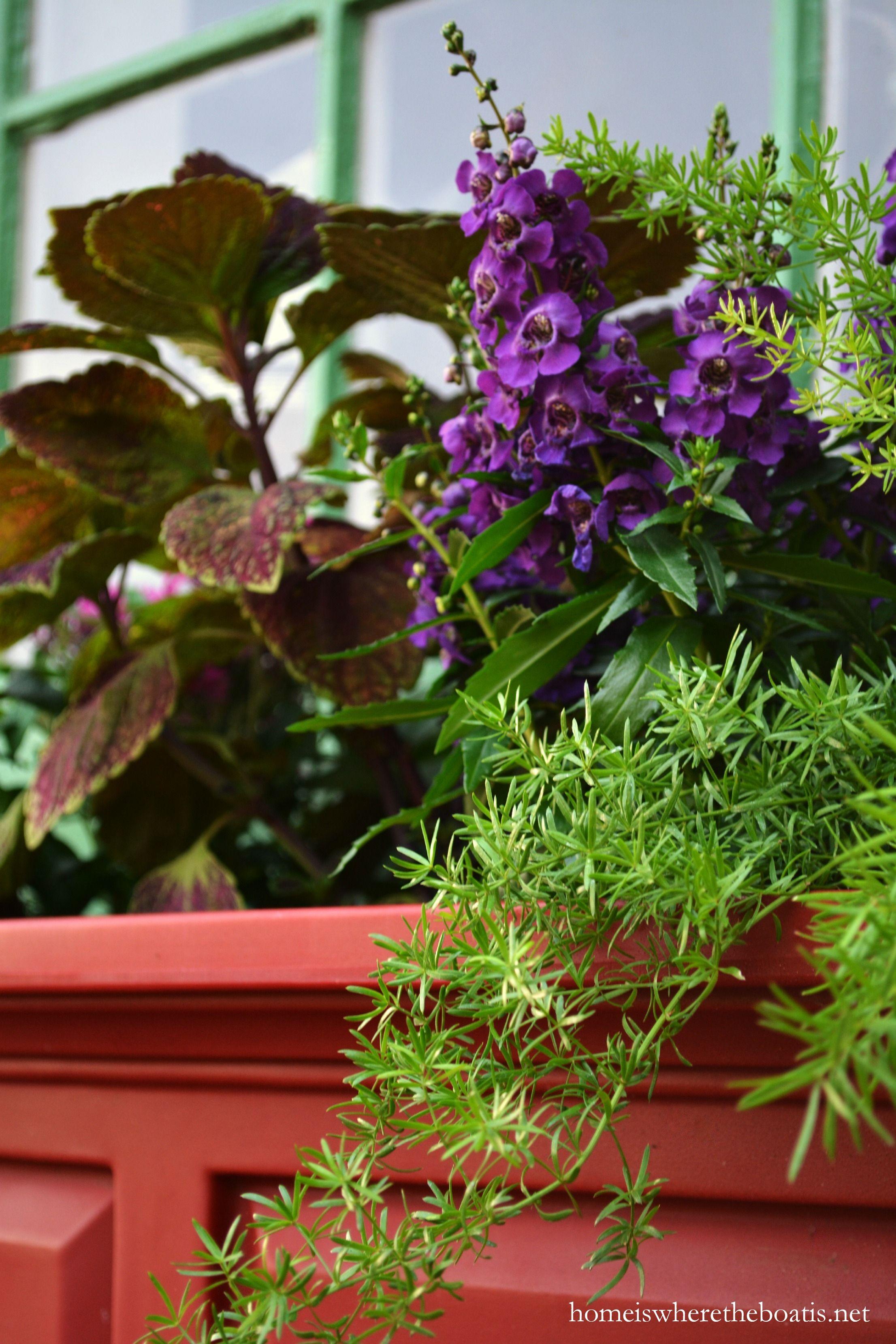 Growing Asparagus Bonnie Plants Plants Growing Asparagus Growing Vegetables