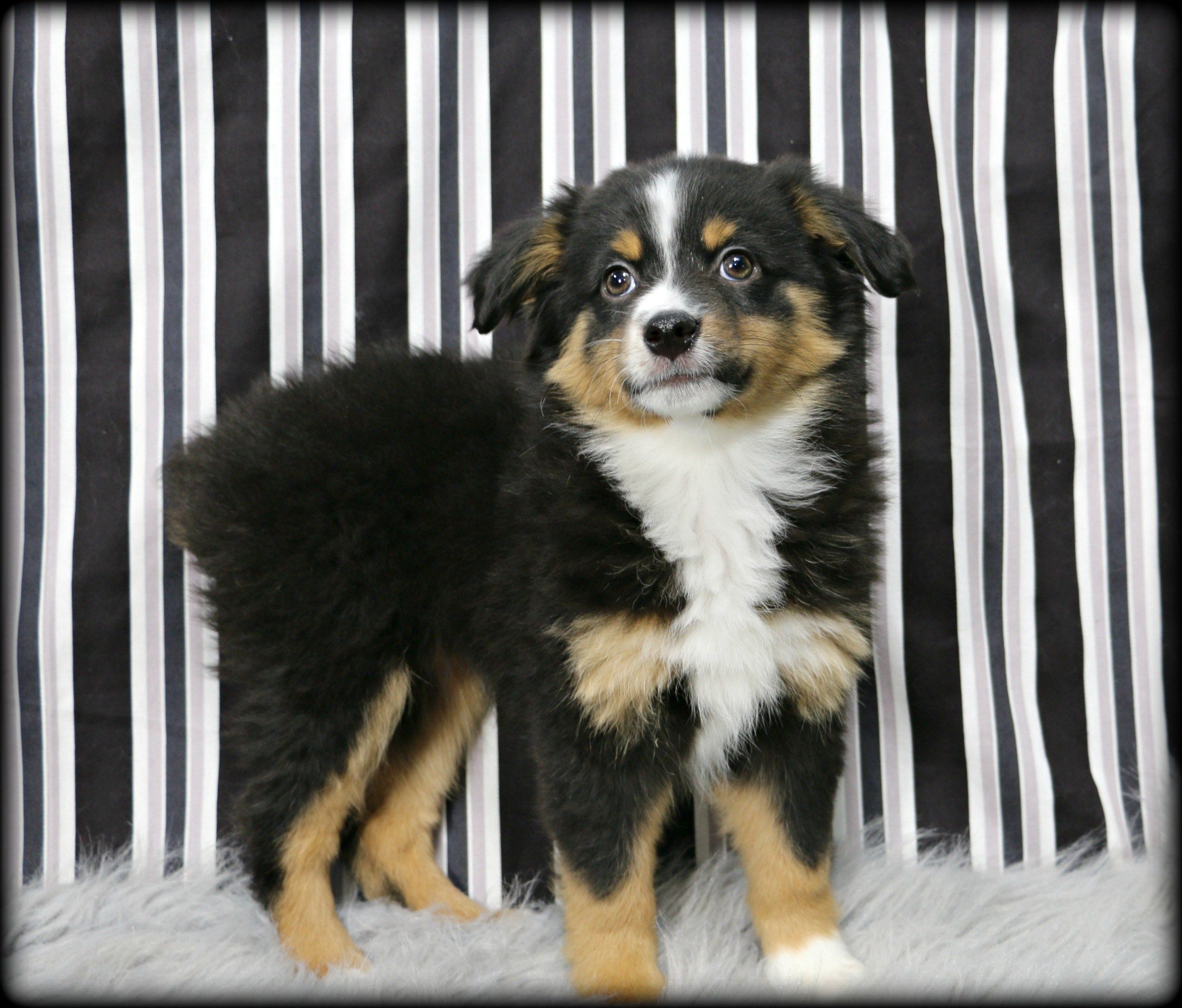 Petland Overland Park Has Australian Shepherd Puppies For Sale Check Out All Our Available Puppies Australianshep