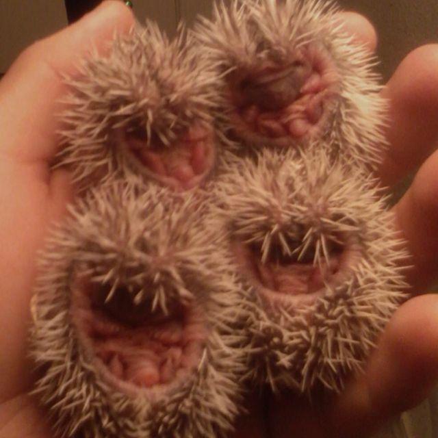 Love baby hedgehogs