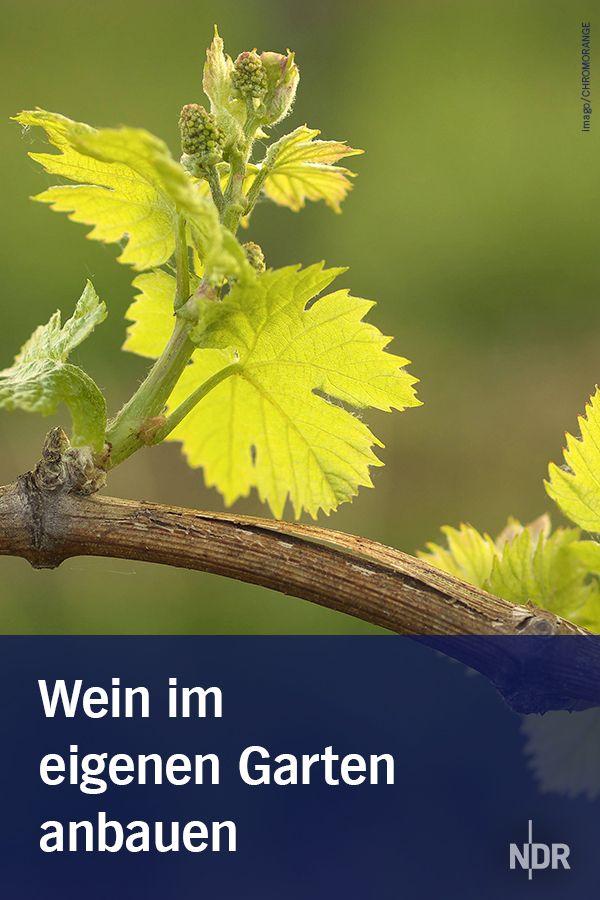 Wein im eigenen garten anbauen gartentipps wein garten for Weintrauben im garten anbauen
