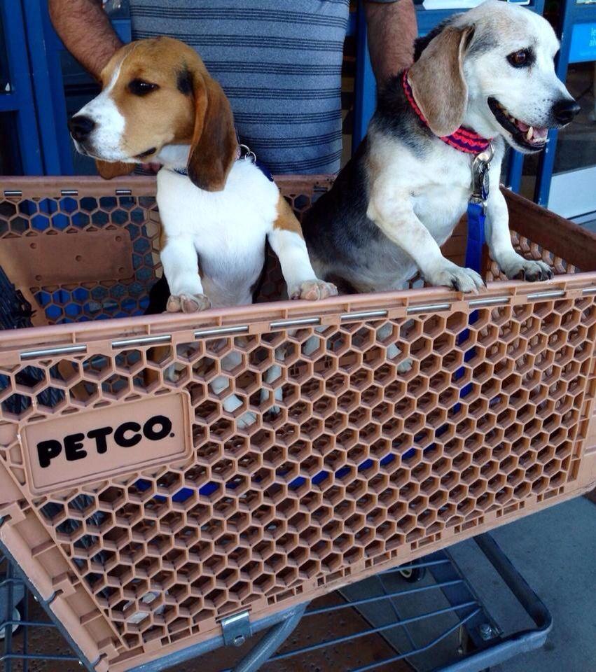 Beagles Shopping At Petco Beagle Puppy Beagle Cute Beagles