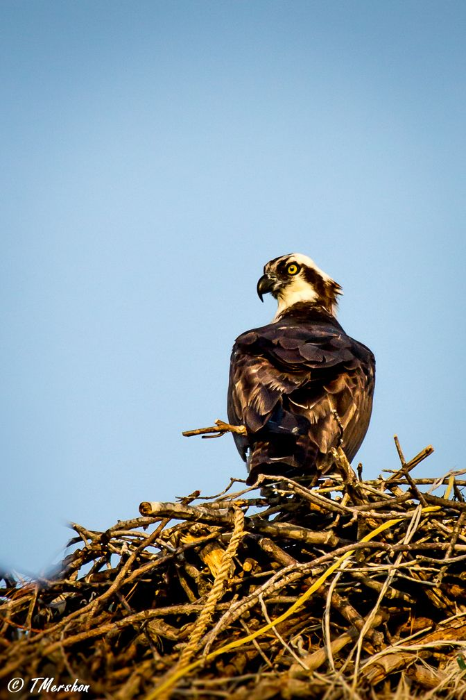 This male Osprey was keeping vigil over his chick, and keeping his eye on me! Virginia Beach, VA.