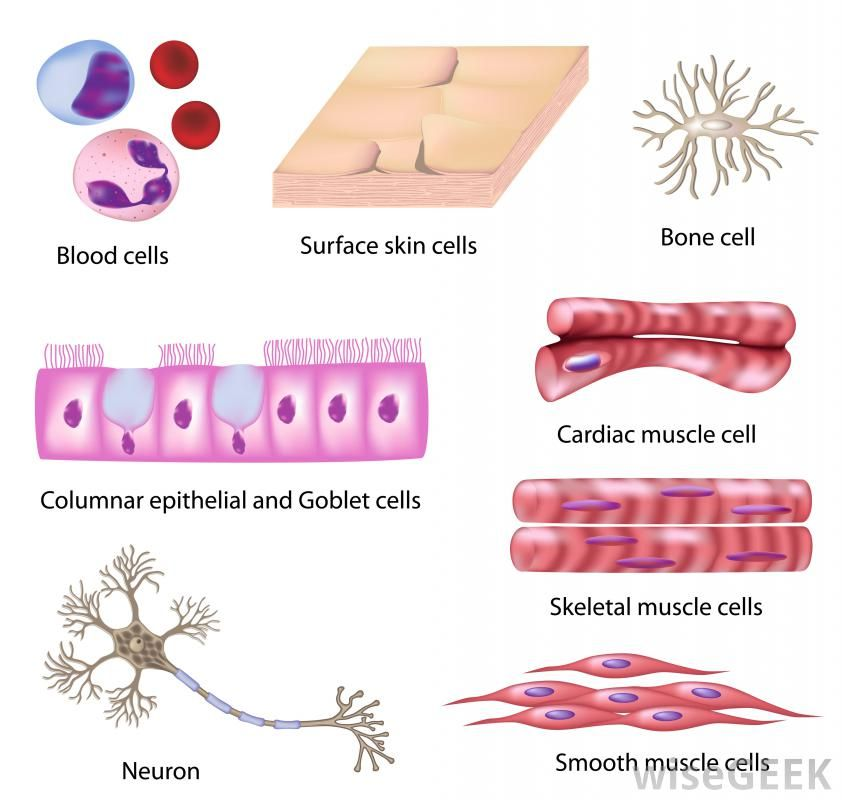 different types of cells - google search | types of cells | pinterest, Human Body