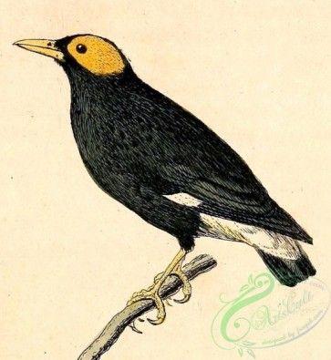 birds-19004 - Mino dumontii 1832 [906x985]
