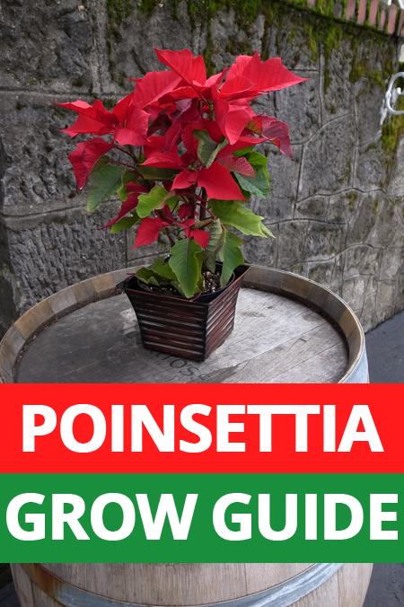 Full Grow Guide To Teach You Correct Poinsettia Care Get Your