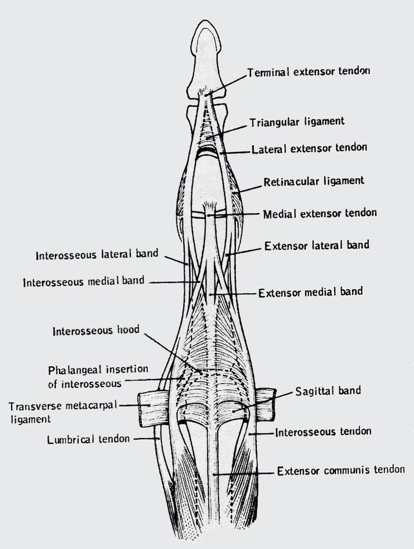 Triangular ligament of the finger (prevents volar shifting of the ...