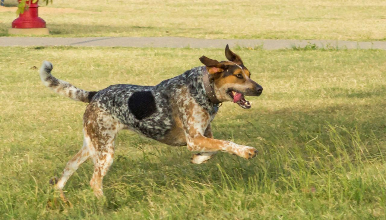 Affordable Dog Training Los Angeles Dogwithoutborders Coonhound