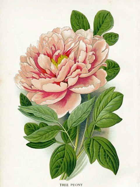 八重の牡丹の植物画の塗り絵の下絵 画像 植物のスケッチ フラワーアート ボタニカルプリント