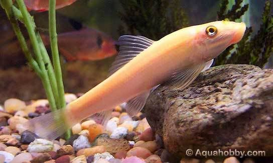 Chinese Algae Eater Fish Algae Glow Fish Aquarium Maintenance