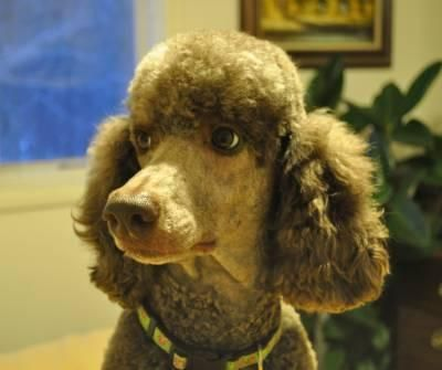 Adopt Fiona On Poodle Poodles For Adoption Adoption