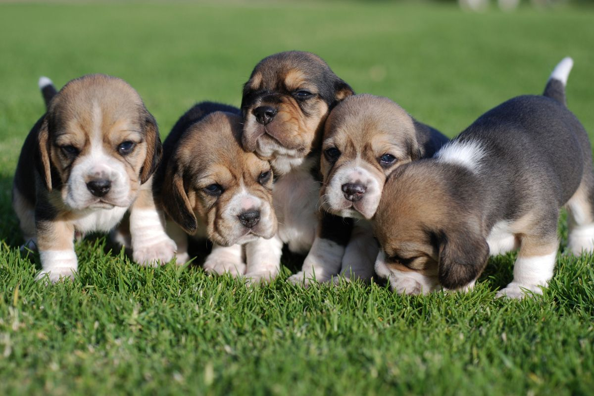 Beagle Puppy Price Cost Range How Much Are Beagle Puppies For