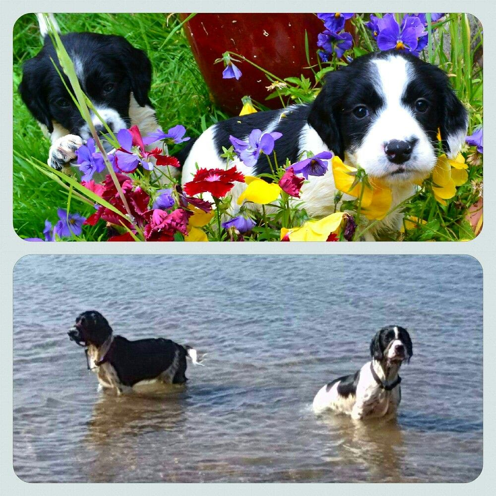 Springer Spaniels Then And Now English Springer Spaniel Best Dog Breeds Cute Dogs