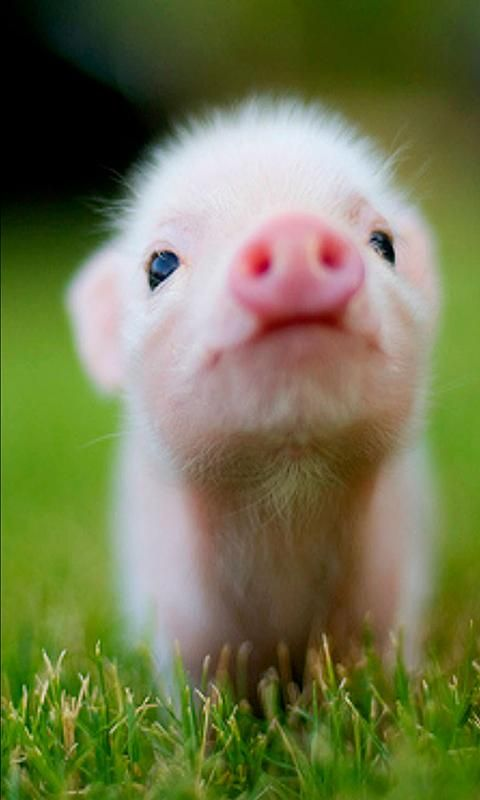 Cute Animal Wallpapers For 2014 Starting Out With 30 Really Adorable And Cute Baby Animals All Hd Quality Pictures Cute Animals Baby Pigs Cute Baby Animals