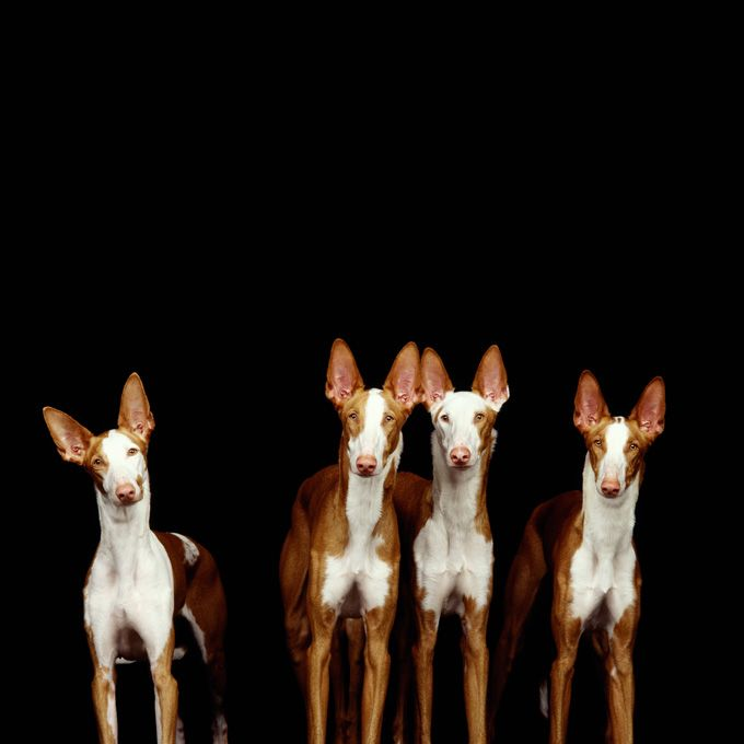 Ibizan Dog Breed Information Pictures Characteristics Facts Ibizan Hound Dog Breeds Beautiful Dogs