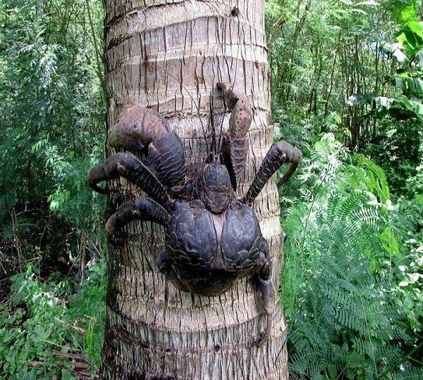 World-Largest-Land-Living-Arthropod-Coconut-Crab | Coconut ...