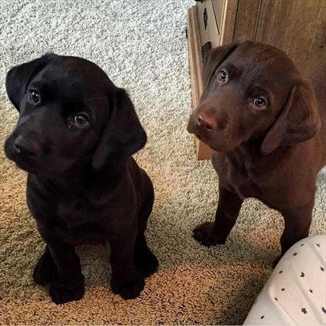 7 Spectacular Breed Focus Labrador Retriever Ideas In 2020 With