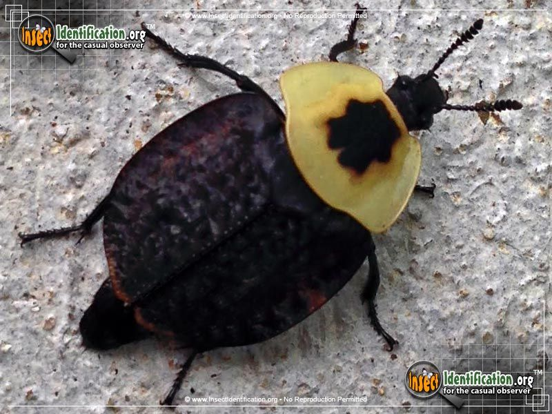 American Carrion Beetle Beetle Insect Beetle Insects