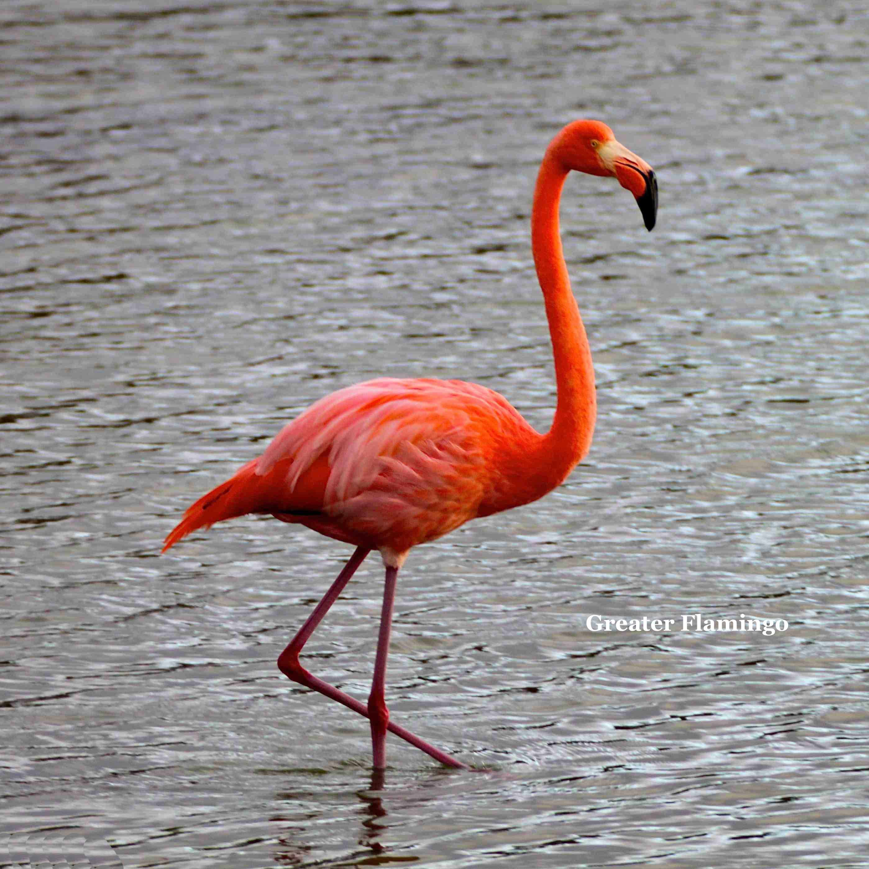 Greater Flamingo | Greater flamingo, Flamingo and Bird