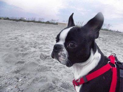 Beach Time Boston Terrier Mans Best Friend Terrier