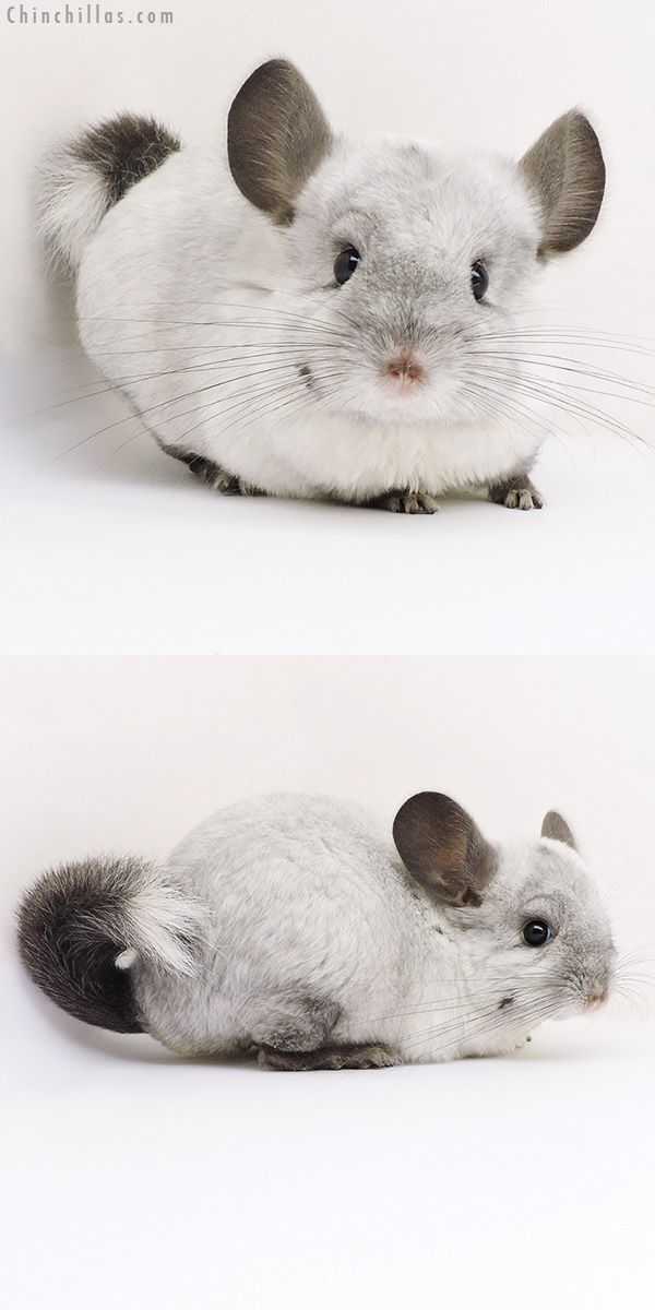 17182 Ebony White Mosaic Locken Carrier Female Chinchilla Chinchilla Pet Chinchilla Cute Cute Wild Animals