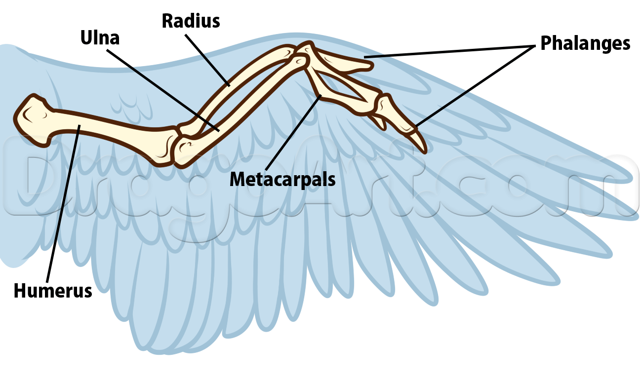 bird anatomy drawing step 5 | bird wings | Pinterest | Drawing step ...