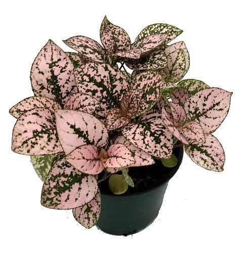 Splash pink polka dot plant hypoestes 4 pot colorful house plant p l a n t s - Colorful indoor plants ...