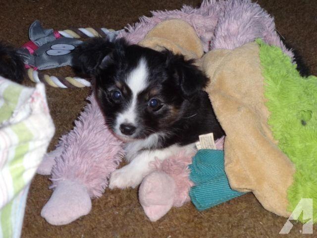 Adorable Toy Australian Shepherd Puppies