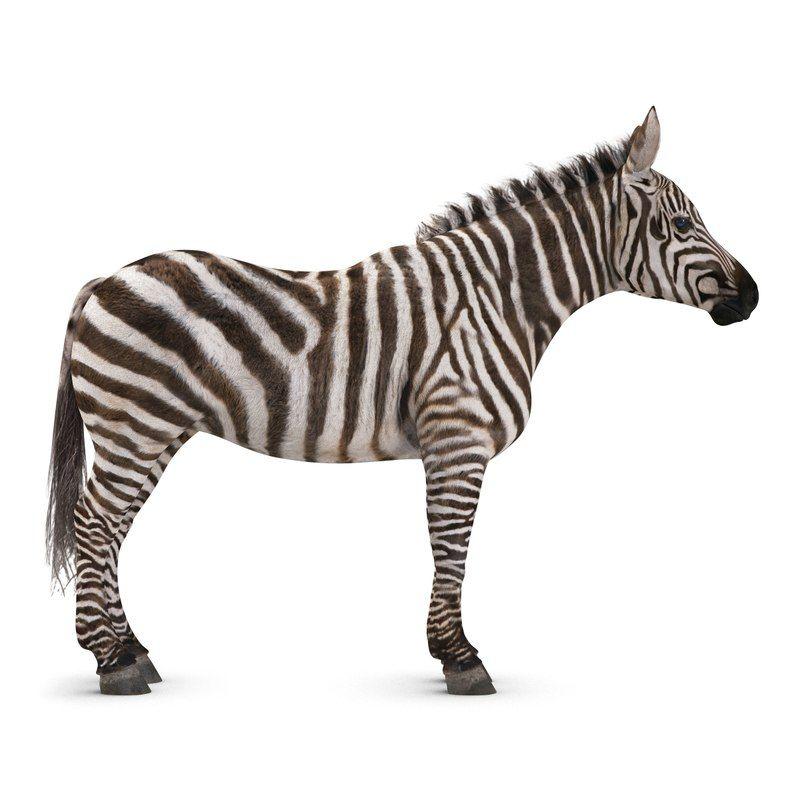 Zebra 3d Model Zebra Wild Animals Pictures Zebras