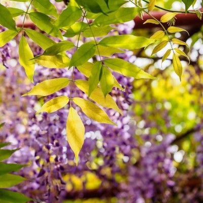 Wisteria Leaf Problems What To Do For A Wisteria With Yellow Leaves Plant Leaves Turning Yellow Wisteria Plant Yellow Leaves
