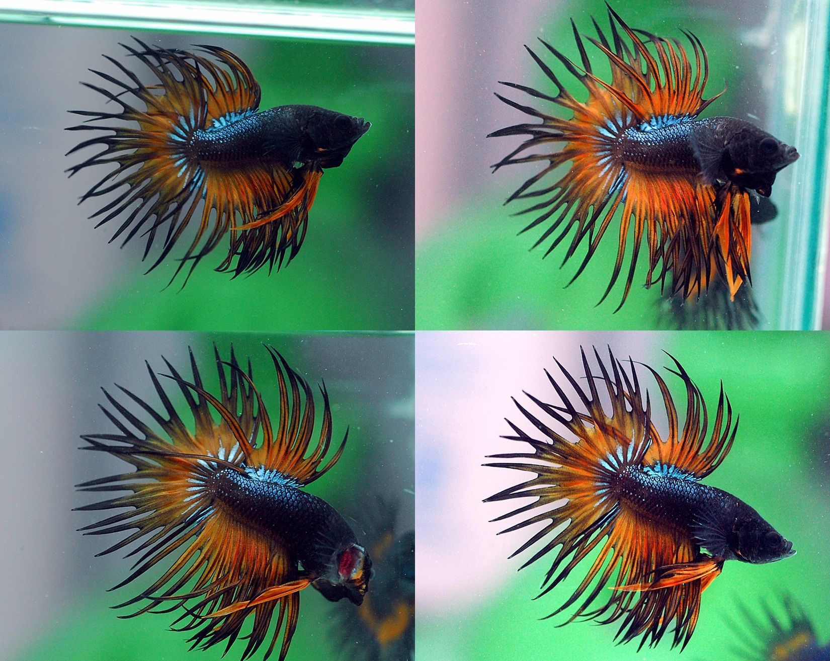 fwbettasct1476005208 - CT MUSTAD 002(MALE)++Home fish betta thailand ...