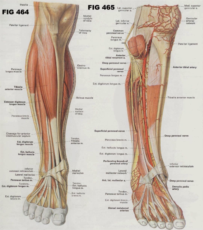 netter rib cage - Google 검색 | anatomy references - leg | Pinterest