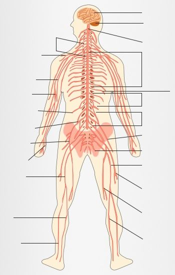 Human nervous system diagram labeled anatomy pinterest nervous human nervous system diagram labeled ccuart Choice Image