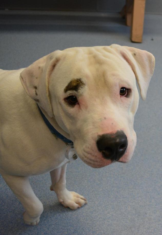 Adopt Ben On Animals American Bulldog Mix Animal Shelter